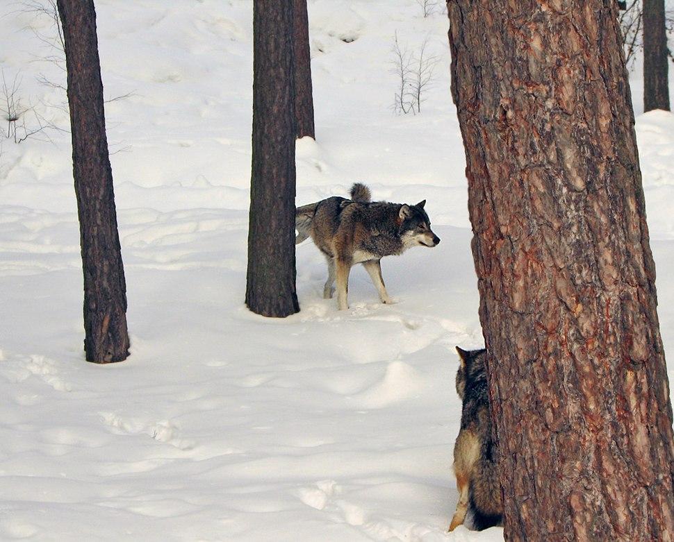 Lobo marcando su territorio