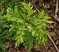 Lomatia silaifolia foliage.jpg