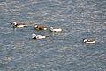 Long-tailed Ducks (Clangula hyemalis) (12547992945).jpg