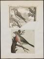 Loxia curvirostra - 1700-1880 - Print - Iconographia Zoologica - Special Collections University of Amsterdam - UBA01 IZ16000215.tif