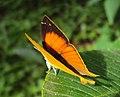 Loxura atymnus - Yamfly 06.JPG