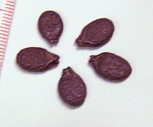 Luffa - Image: Luffa acutangula seeds