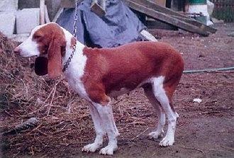 Sabueso Español - Spanish scenthound. Female of ancient harehound type.