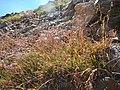 Luzula parviflora (28586180503).jpg