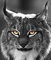 Lynx (8492017453).jpg