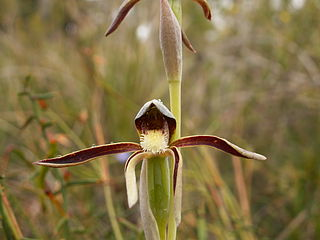 <i>Lyperanthus</i> genus of plants