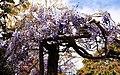 Madeira, Palheiro Gardens Wisteria sinensis (Chinesischer Blauregen) IMG 2231.JPG