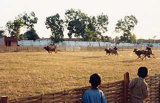 Madurese people - Bull racing (karapan sapi) in Sumenep, Madura, East Java, Indonesia, 1999.