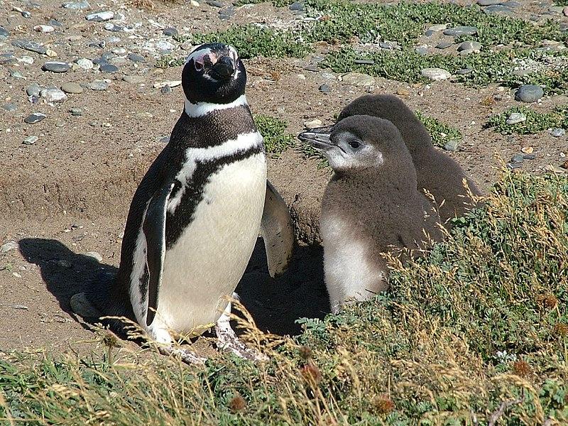 File:Magellanic Penguin (Spheniscus magellanicus) -adult and 2 chicks.jpg
