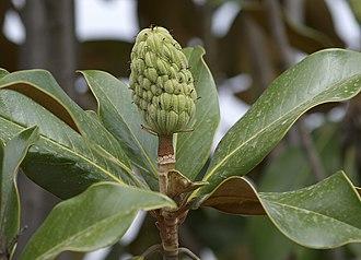 Honokiol - Seed Cone