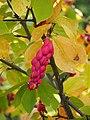 Magnolia × soulangeana 2014-10-12 01.jpg