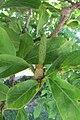 Magnolia 2017-06-09 010.jpg