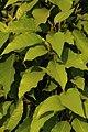 Magnolia champaca leaves from Villupuram dt IMG 3900.jpg