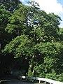 Magnolia compressa 01.jpg