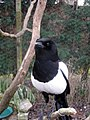 Magpie at British Wildlife Centre, Lingfield - geograph.org.uk - 1784514.jpg