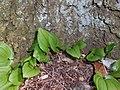 Maianthemum bifolium 2018-04-20 9164.jpg