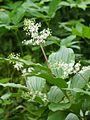 Maianthemum racemosum майник кистистый.jpg