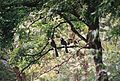 Malabar Pied Hornbill at Bhadra wildlife sanctuary.jpg