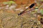 Malabar torrent dart Euphaea fraseri Male from Anaimalai hills DSC 2813.jpg