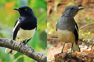 Oriental magpie-robin - Male (left) and female (India)