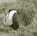 Male Greater Sage-Grouse (6928684094).jpg