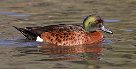 Male chestnut teal.jpg