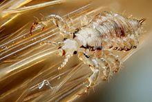 Vue microscopique d'un animal transparent à gros abdomen plein de sang et 6 pattes accrochées des cheveux