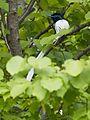 Male white morph Asian Paradise Flycatcher-4 (26451383233).jpg