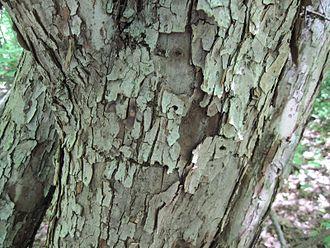 Malus coronaria - The fissured bark of Malus Coronoria.