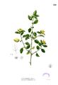Malvastrum coromandelianum Blanco2.251.png