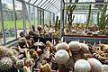 Mammillaria geminispina subsp. leucocentra-Jardin des plantes de Nantes (1).jpg