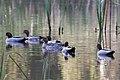 Maned Duck (Chenonetta jubata) (8079573733).jpg