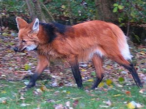 Near-threatened species - Image: Maned wolf aguara guazu
