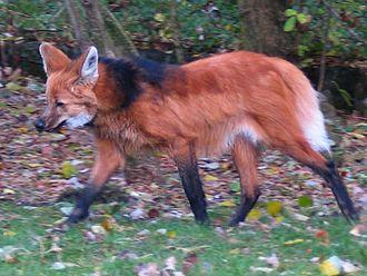 Near-threatened species - Image: Maned wolf aguara guazu