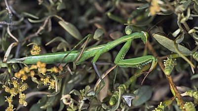 Mantis religiosa, immature female, Sète 01.jpg