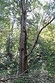 Maple Tree 20-10-08 044.jpg