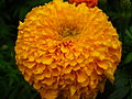Marigold at Lalbagh Flower show August 20124534.JPG