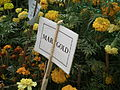 Marigold from lalbagh 1845.JPG