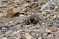 Marmota flaviventris (29269994494).jpg