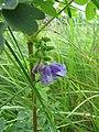 Marsh Skullcap (Scutellaria galericulata) (7692211578).jpg