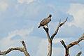Martial Eagle (Polemaetus bellicosus) (16104207763).jpg