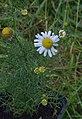 Matricaria chamomilla flower (02).jpg