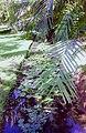 Mauritius.- Jardin botanique Sir Seewoosagur Ramgoolam (4).jpg