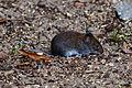 Maus auf der Pfaueninsel 20150818 18.jpg