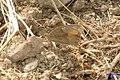 Meadow brown (Jiz) (24264075723).jpg