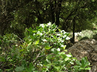 Mediterranean forests, woodlands, and scrub - A Mediterranean forest, the Upper Galilee