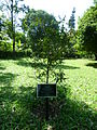 Mee Tree (Madhuca Longifolia-Sapotaceae).JPG