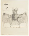 Megaderma lyra - 1700-1880 - Print - Iconographia Zoologica - Special Collections University of Amsterdam - UBA01 IZ20700111.tif
