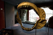 A dark-yellow megalodon jaw reconstruction with two rows of white teeth stained black on the top.