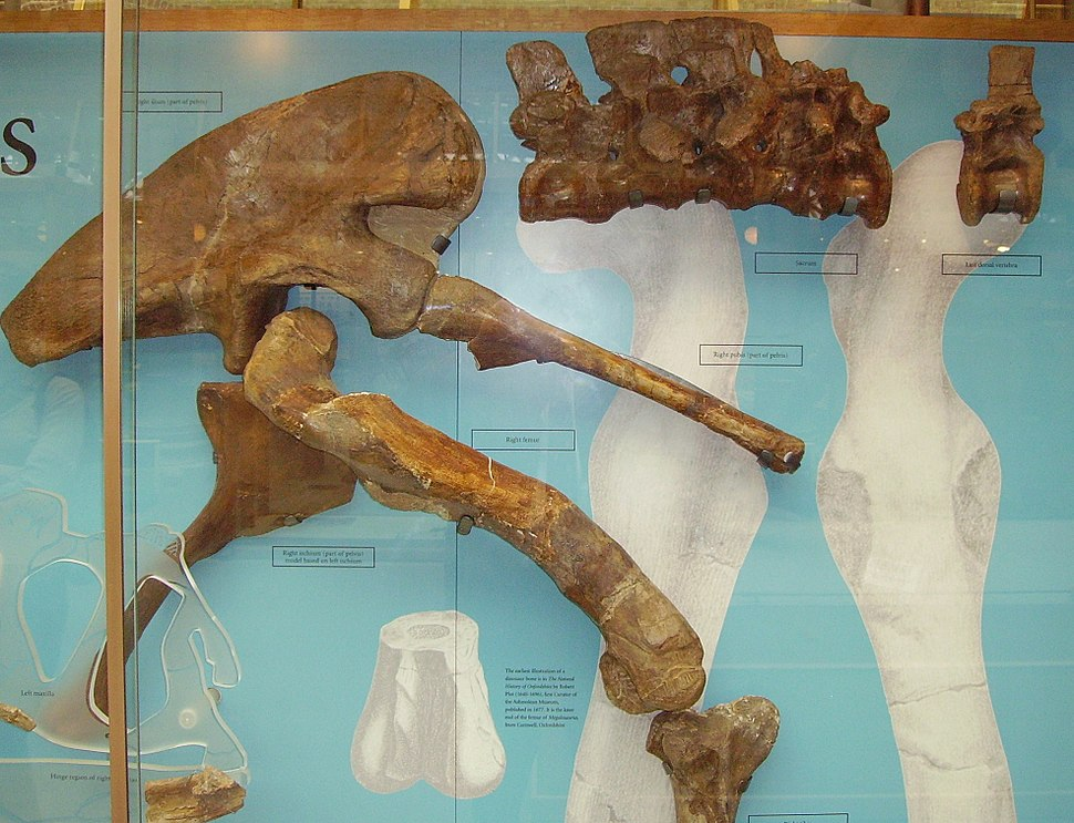 Megalosaurus fragments